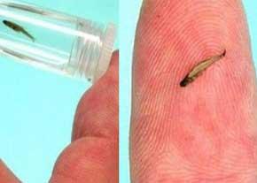 کشف جالب کوچک ترین گونه ماهی جهان در مالزی